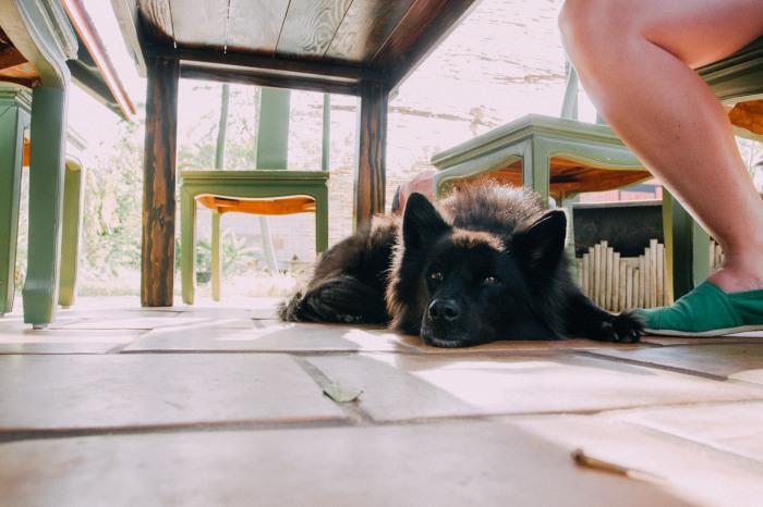 oso_the_dog_under_a_table_maui_hawaii